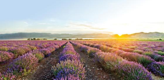 YL's Lavender Farm